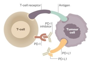 1067743_activated-tcell-pd1-pdl1-14